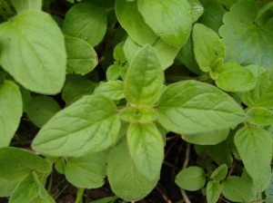 alternative-health-oregano