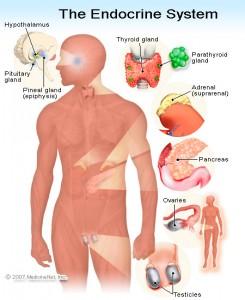 Endocrine_System_Maca