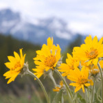 arnica-alternative-health