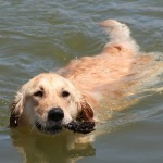 golden-retriever-holistic-health