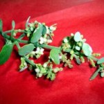 mistletoe-alternative-to-chemotherapy